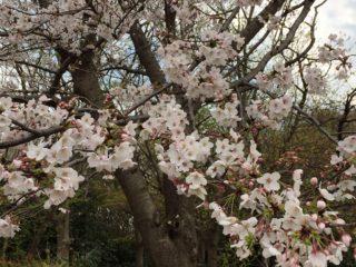 春が桜とともに来ました。